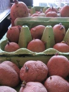 Potatoes Chitting