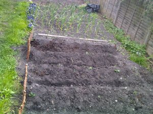 Earthed up first early potatoes