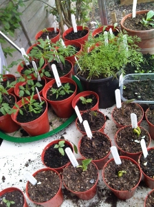 Our seedlings potted on
