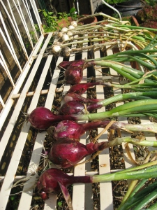 Harvested onions drying in the sun
