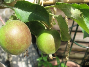 Apples swelling well
