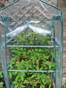 Tomatoes in mini greenhouse