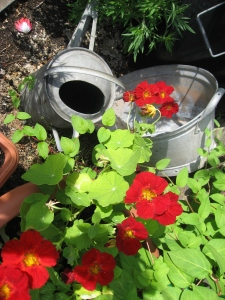 Lovely nasturtiums climbing around galvanised containers!