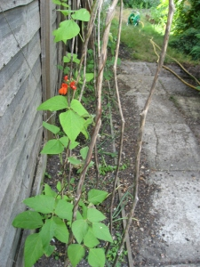 Runner beans starting to flower