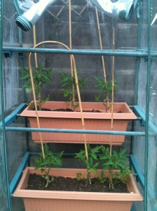 Tomatoes in their little greenhouse on the patio
