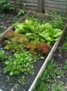 Salad bed with round lettuce and lollo rosso in good growth