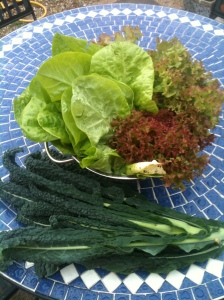 Salad Harvest - Round Lettuce and Lollo Rosso