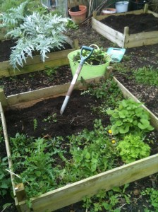 Clearing the raised beds of weeds